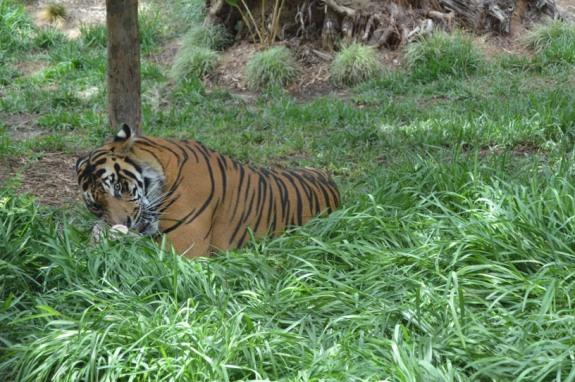 safaripark-tiger
