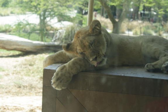 safariparklioncub